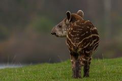 Tapir americano imagen de archivo libre de regalías