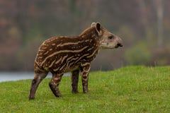 Tapir americano foto de archivo libre de regalías