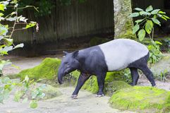 Tapir. Malaysian tapir. Tapir is an animal herbivore. It`s quite a handsome animal that has strong legs, a short tail and a slender neck Stock Image