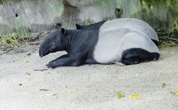 Tapir. Malaysian tapir. Tapir is an animal herbivore. It`s quite a handsome animal that has strong legs, a short tail and a slender neck Stock Photo