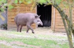 Tapir anty - Tapirus terrestris w ogródzie na trawie między drzewami, z zamazanym tłem drewniany budynek Fotografia Stock