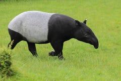 Tapir asiático Imágenes de archivo libres de regalías