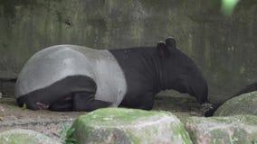 Tapir asiático que descansa en el fragor del día - 4k metrajes