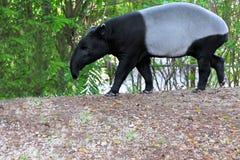Tapir asiatico Fotografia Stock Libera da Diritti