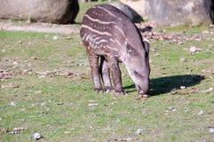 Tapir baby  Stock Image