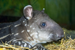 Tapir baby Royalty Free Stock Image