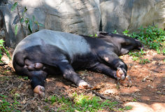 Tapir Royalty Free Stock Photography