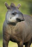 Tapir brésilien, terrestris de Tapirus, Image libre de droits