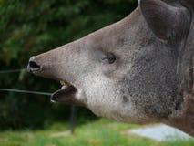 Tapir brasileño de la tierra baja fotos de archivo