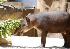 Tapir brasileño, terrestris del Tapirus del sur Foto de archivo