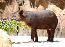 Tapir brasileño, terrestris del Tapirus del sur Fotos de archivo