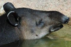Tapir brasileiro 2 Imagem de Stock