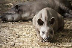 Tapir/brasiliansk tapir royaltyfria foton