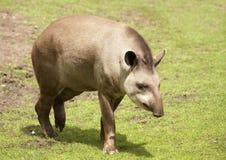 Tapir. Brazilian tapir (Lowland tapir). Sort : Tapirus terrestris Royalty Free Stock Photo