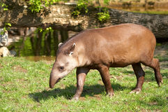 Tapir. Brazilian tapir (Lowland tapir). Sort : Tapirus terrestris stock photo