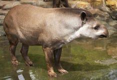 Tapir. Brazilian tapir (Lowland tapir) in water. Sort : Tapirus terrestris royalty free stock image