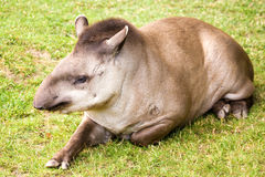 Tapir Royalty Free Stock Images