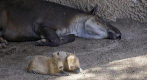 Tapir and Capybara, Zoo Series, San Diego, California. Tapir and Capybara hanging out together Stock Photography