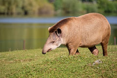 Tapir in a clearing Stock Photography