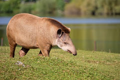 Tapir in a clearing, Royalty Free Stock Photo