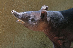Tapir. Close up detail of Mountain Tapir sniffing stock photography