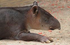 Tapir. Close Up Profile View Of Central American Mountain Tapir royalty free stock photo