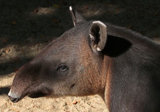 Tapir. Close Up Of Rare Mountain Tapir In Sun stock images