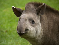 Tapir. Closeup portrait of a tapir looking into the camera stock image