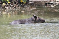 Tapir, Corcovado NP, Costa Rica Royalty-vrije Stock Foto's