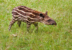 The tapir cub royalty free stock images