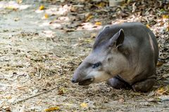 Tapir d'Américain de Sounth Photos libres de droits