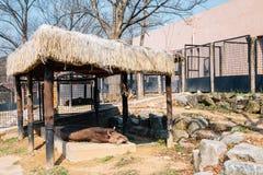 Tapir de l'Amérique au zoo grand de parc de Séoul dans Gwacheon, Corée photo libre de droits