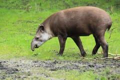 Tapir de la tierra baja Imagen de archivo