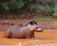 Tapir de Pantanal Fotografía de archivo