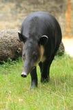 Tapir del Baird fotografia stock