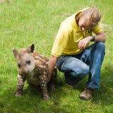 Tapir del bebé en el parque zoológico de Linton Fotografía de archivo libre de regalías