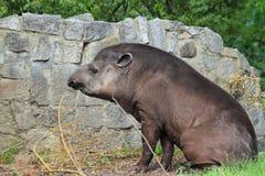 Tapir della pianura Immagini Stock