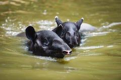 Tapir die op het water in het wildreservaat zwemmen royalty-vrije stock afbeeldingen