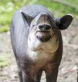 Tapir die Voedsel eten royalty-vrije stock foto