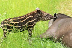 tapir du sud américain Photographie stock libre de droits