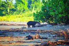 tapir dziki fotografia stock