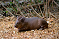 Tapir, Ecuador wild life, Guayaquil Historical Park. American mamals, Tapir slepping in a rescue center in Guayaquil Royalty Free Stock Image