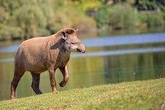 Tapir in einer Reinigung lizenzfreies stockfoto