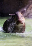 Tapir enjoys the water Stock Image