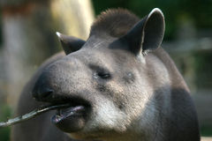 Tapir esting Royalty Free Stock Photos