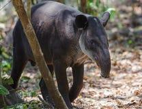 Tapir för Baird ` s arkivfoton