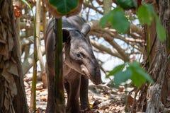Tapir för Baird ` s i den Corcovado nationalparken royaltyfri bild