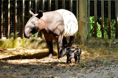 Tapir family Stock Photos