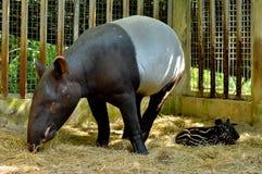Tapir family Stock Images