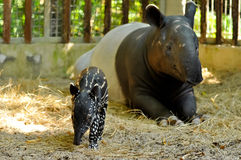 Tapir family. Juvenile tapir, still with a point, well taken care of its mother royalty free stock photos